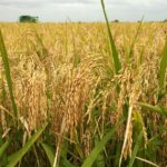 How To Start A Lucrative Rice Farming Business In Nigeria Or Africa: The Complete Guide