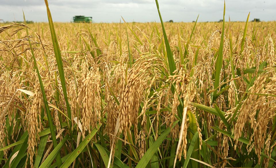 RICE PRODUCTION IN KENYA EBOOK DOWNLOAD