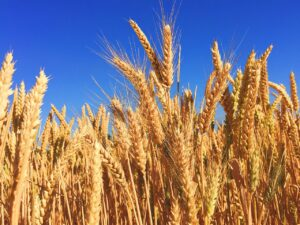 How To Start A Lucrative Barley Farming Business In Nigeria: The Complete Guide