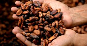 How To Start A Lucrative Cocoa Farming Business In Nigeria: The Complete Guide