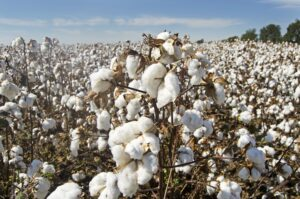 How To Start A Lucrative Cotton Farming & Production Business In Nigeria: The Complete Guide