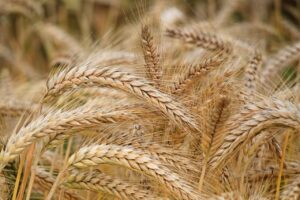 How To Start A Lucrative Wheat Farming Business In Nigeria: The Complete Guide